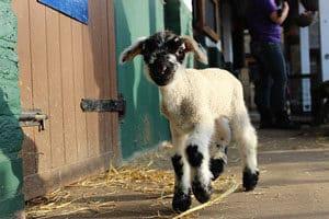 800px-Vauxhall_City_Farm_Spring_Lamb